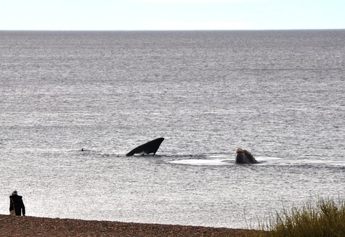 Fabios-LifeTour-Argentina-2015-July-August-Puerto-Madryn-El-Doradillo-whale-watching-2.-5417-cover