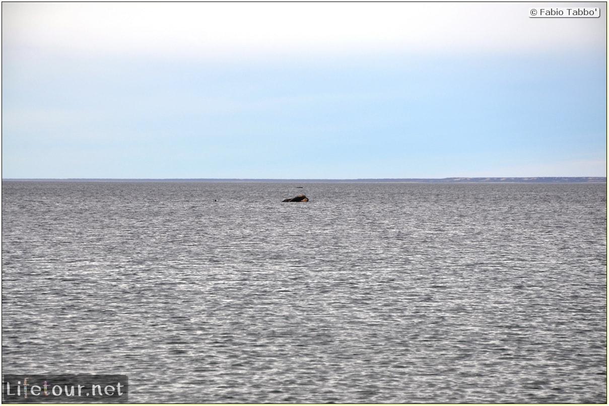 Fabios-LifeTour-Argentina-2015-July-August-Puerto-Madryn-El-Doradillo-whale-watching-2.-El-Doradillo-whale-watching-3309