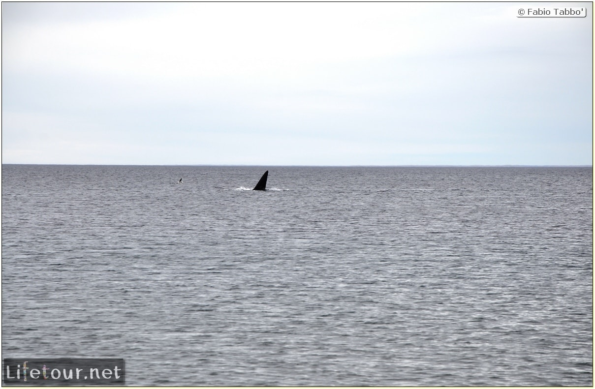 Fabios-LifeTour-Argentina-2015-July-August-Puerto-Madryn-El-Doradillo-whale-watching-2.-El-Doradillo-whale-watching-3615