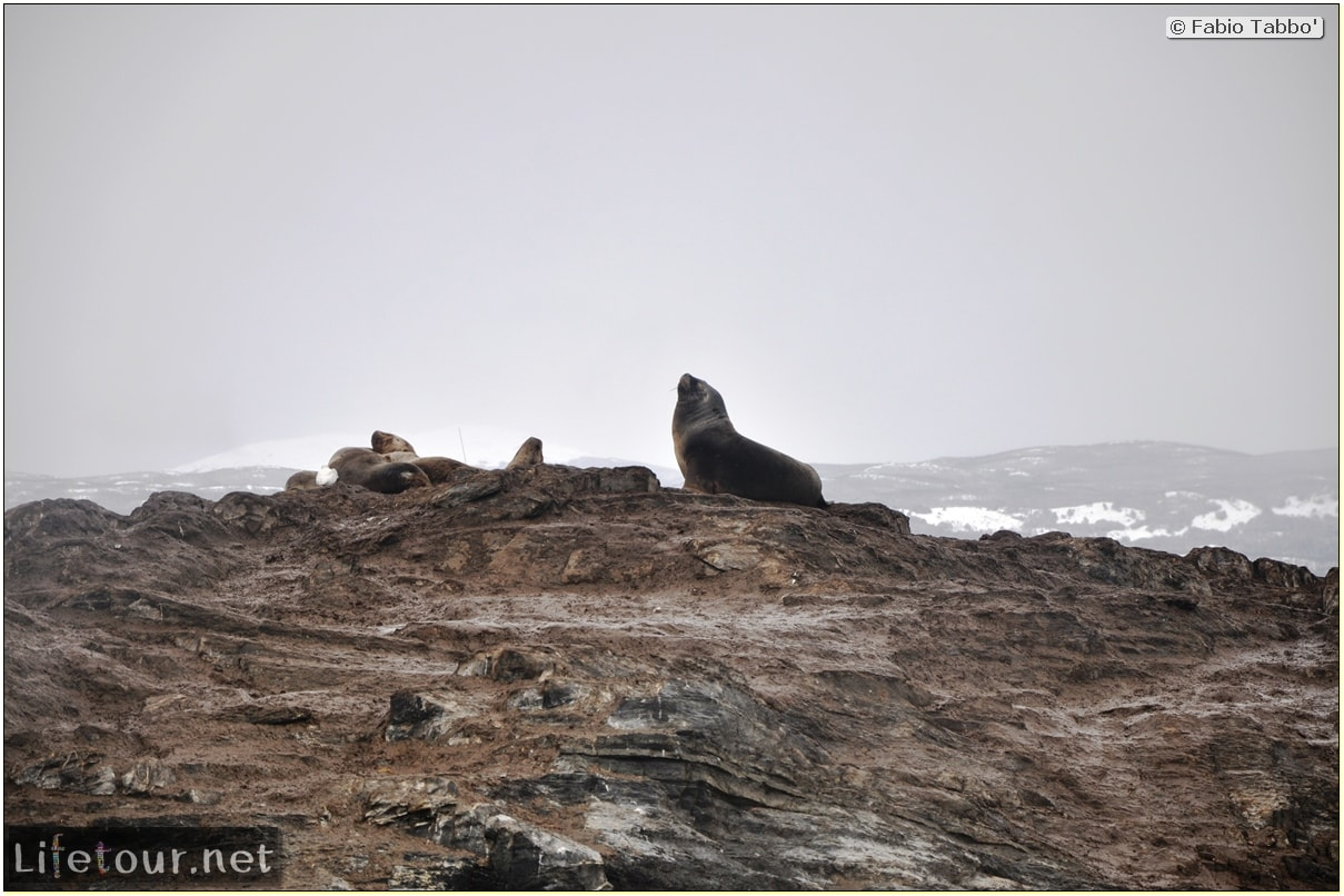 Fabios-LifeTour-Argentina-2015-July-August-Ushuaia-Beagle-Channel-2-Sea-lions-4496