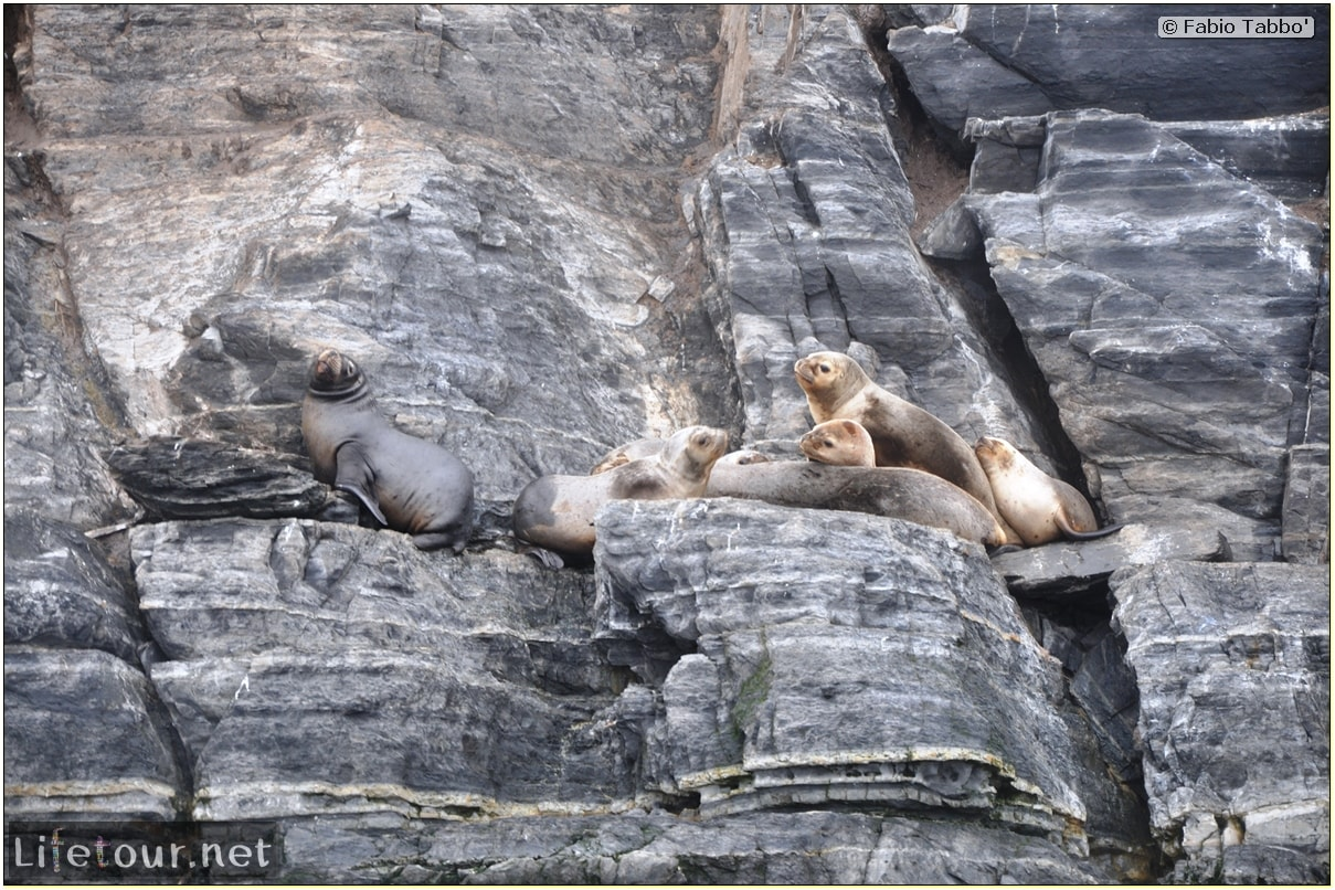 Fabios-LifeTour-Argentina-2015-July-August-Ushuaia-Beagle-Channel-2-Sea-lions-5740