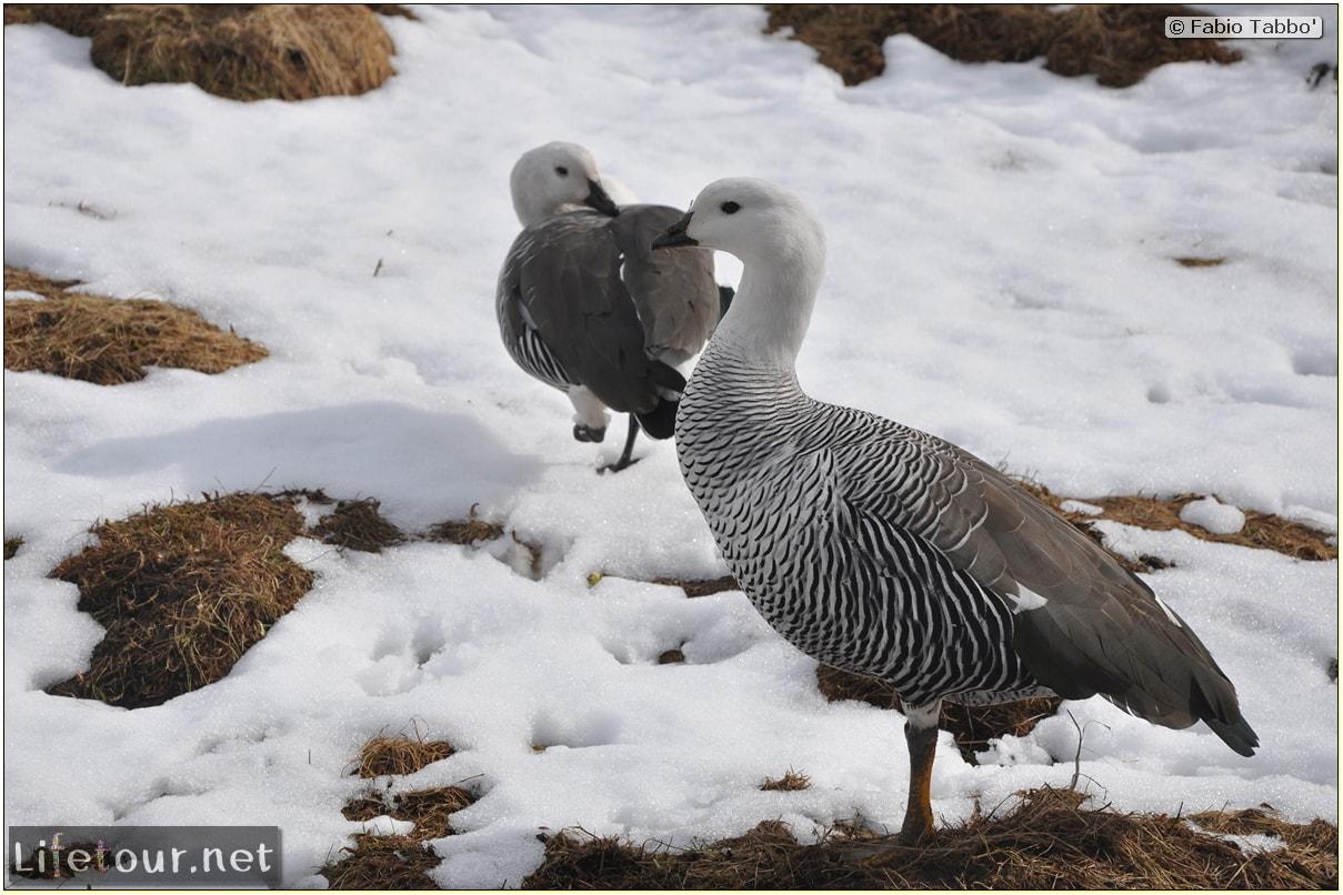 Fabios-LifeTour-Argentina-2015-July-August-Ushuaia-Parque-Tierra-del-Fuego-3-Birdwatching-4670