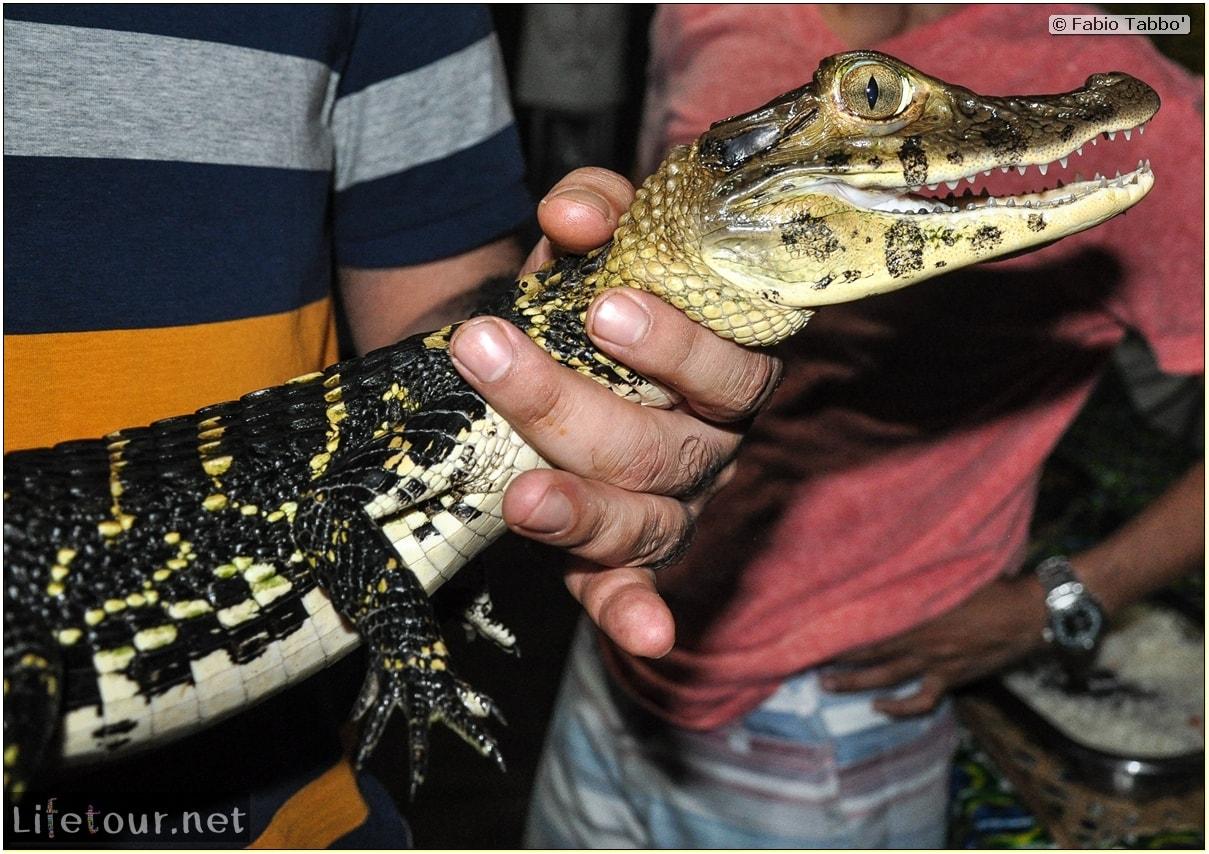Fabio's LifeTour - Brazil (2015 April-June and October) - Manaus - Amazon Jungle - Alligator petting - 8896