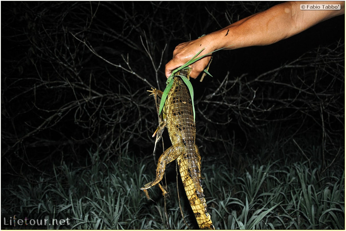 Fabio's LifeTour - Brazil (2015 April-June and October) - Manaus - Amazon Jungle - Alligator petting - 9362 cover