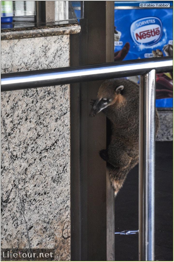 Fabio's LifeTour - Brazil (2015 April-June and October) - Iguazu falls - The racoons (coati) - 10046