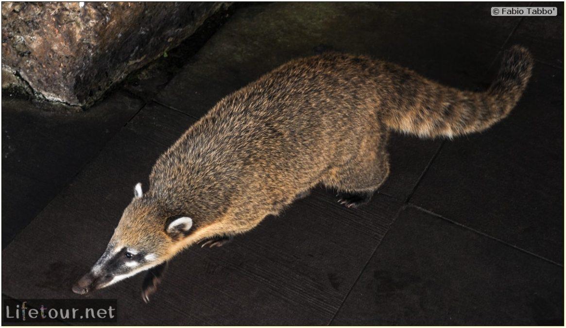 Fabio's LifeTour - Brazil (2015 April-June and October) - Iguazu falls - The racoons (coati) - 10162