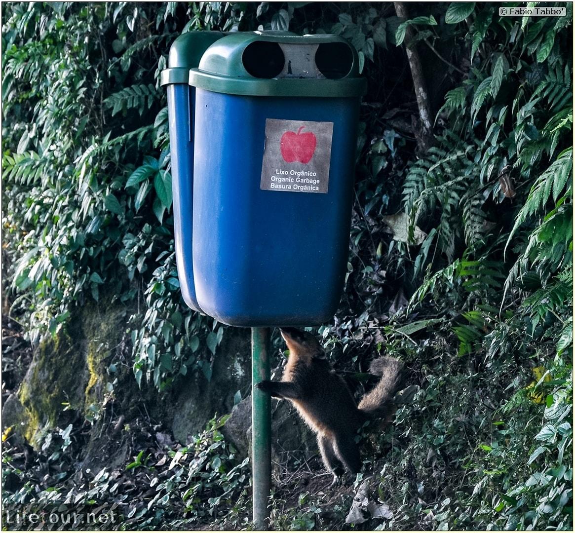 Fabio's LifeTour - Brazil (2015 April-June and October) - Iguazu falls - The racoons (coati) - 9620