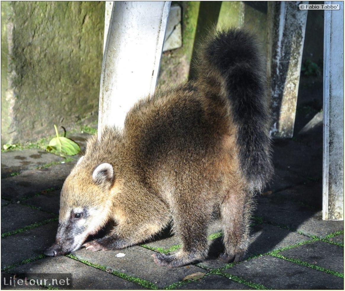 Fabio's LifeTour - Brazil (2015 April-June and October) - Iguazu falls - The racoons (coati) - 9837 cover
