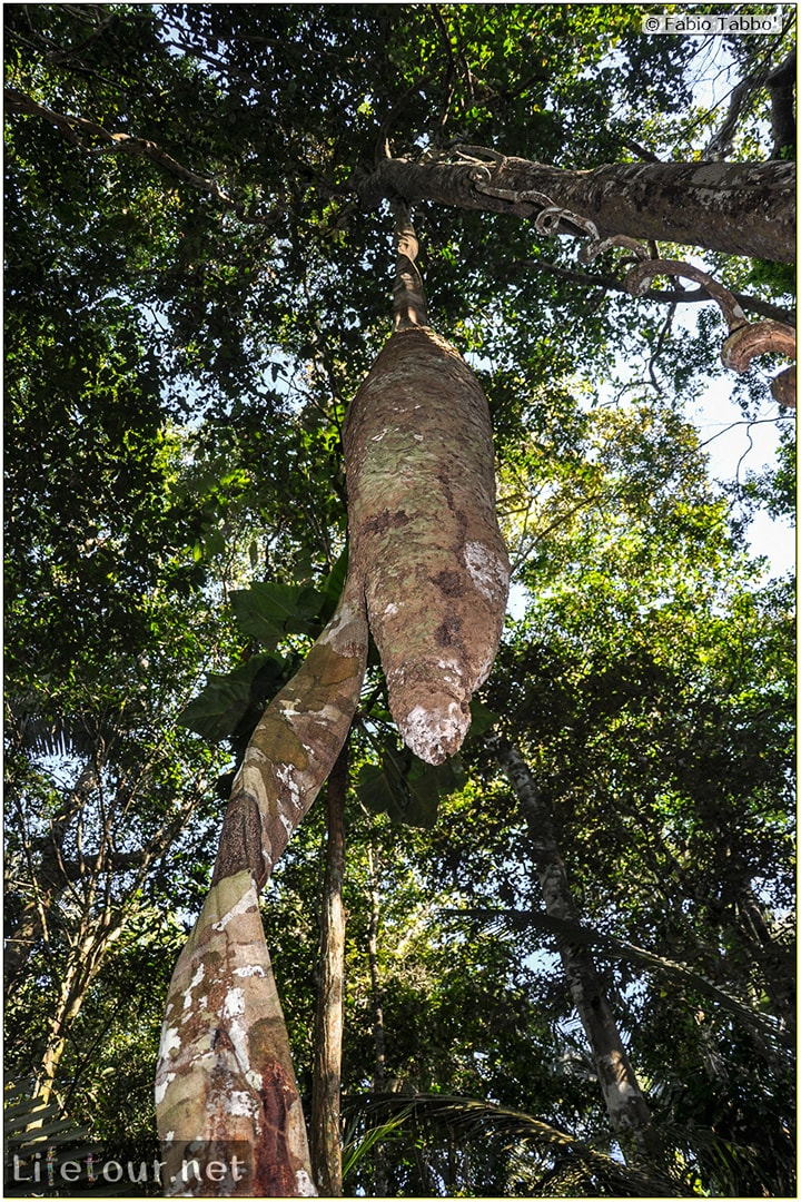 Fabio's LifeTour - Brazil (2015 April-June and October) - Manaus - Amazon Jungle - Jungle trekking - 2- trekking - 9716