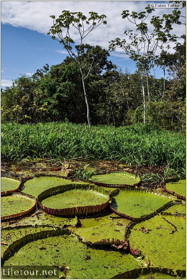 Fabio's LifeTour - Brazil (2015 April-June and October) - Manaus - Amazon Jungle - Parque do Janauary - 3- Water lilies - 11037