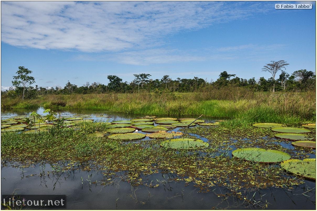 Fabio's LifeTour - Brazil (2015 April-June and October) - Manaus - Amazon Jungle - Parque do Janauary - 3- Water lilies - 9505
