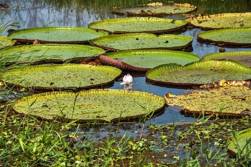 Fabio's LifeTour - Brazil (2015 April-June and October) - Manaus - Amazon Jungle - Parque do Janauary - 3- Water lilies - 9644 cover