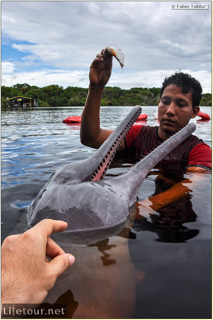 Fabio's LifeTour - Brazil (2015 April-June and October) - Manaus - Amazon Jungle - Pink dolphin petting (Botos encounter) - 4836 cover