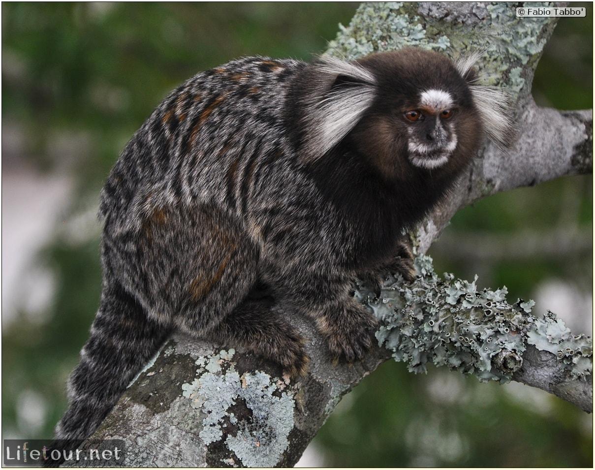 Fabio's LifeTour - Brazil (2015 April-June and October) - Rio De Janeiro - Corcovado - Playing with Monkeys-Raccoons - 8076