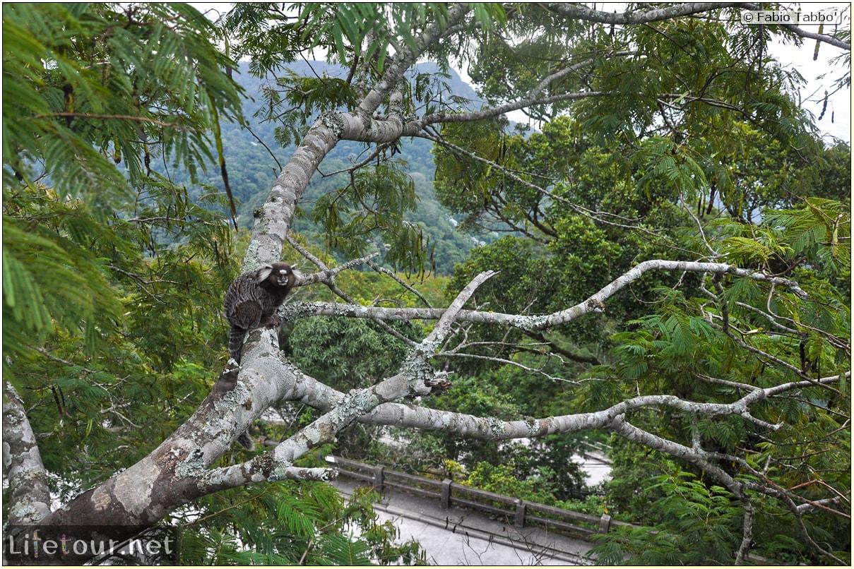 Fabio's LifeTour - Brazil (2015 April-June and October) - Rio De Janeiro - Corcovado - Playing with Monkeys-Raccoons - 8560