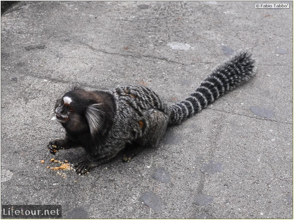 Fabio's LifeTour - Brazil (2015 April-June and October) - Rio De Janeiro - Corcovado - Playing with Monkeys-Raccoons - 8890