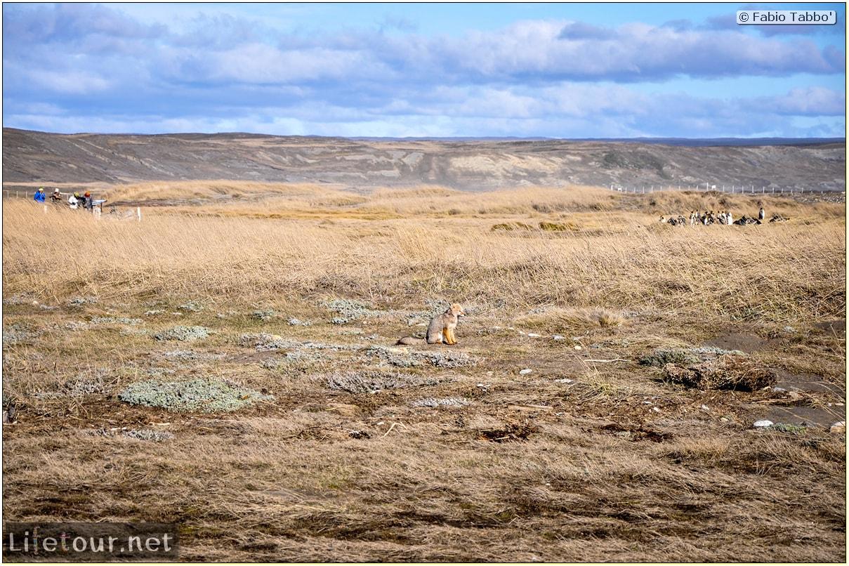 Fabio_s-LifeTour---Chile-(2015-September)---Porvenir---Tierra-del-Fuego---Parque-Penguinos-Rey---2--Foxes---10953 cover