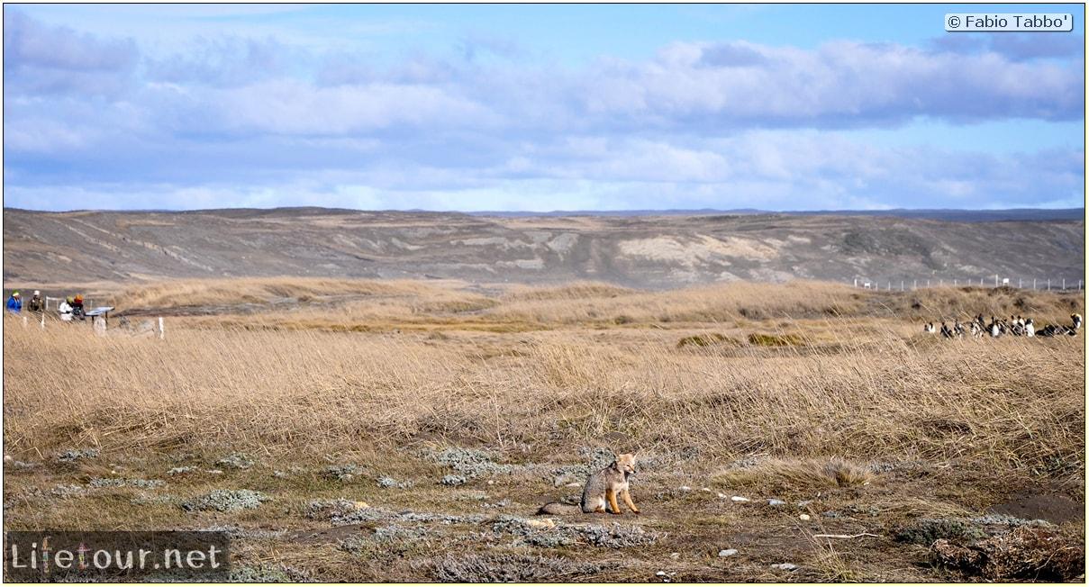 Fabio_s-LifeTour---Chile-(2015-September)---Porvenir---Tierra-del-Fuego---Parque-Penguinos-Rey---2--Foxes---10988 cover