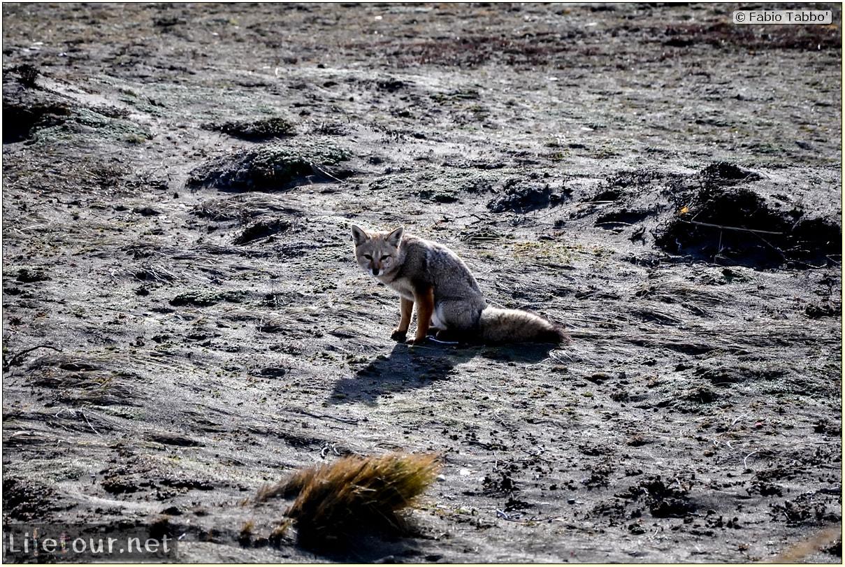 Fabio_s-LifeTour---Chile-(2015-September)---Porvenir---Tierra-del-Fuego---Parque-Penguinos-Rey---2--Foxes---9048