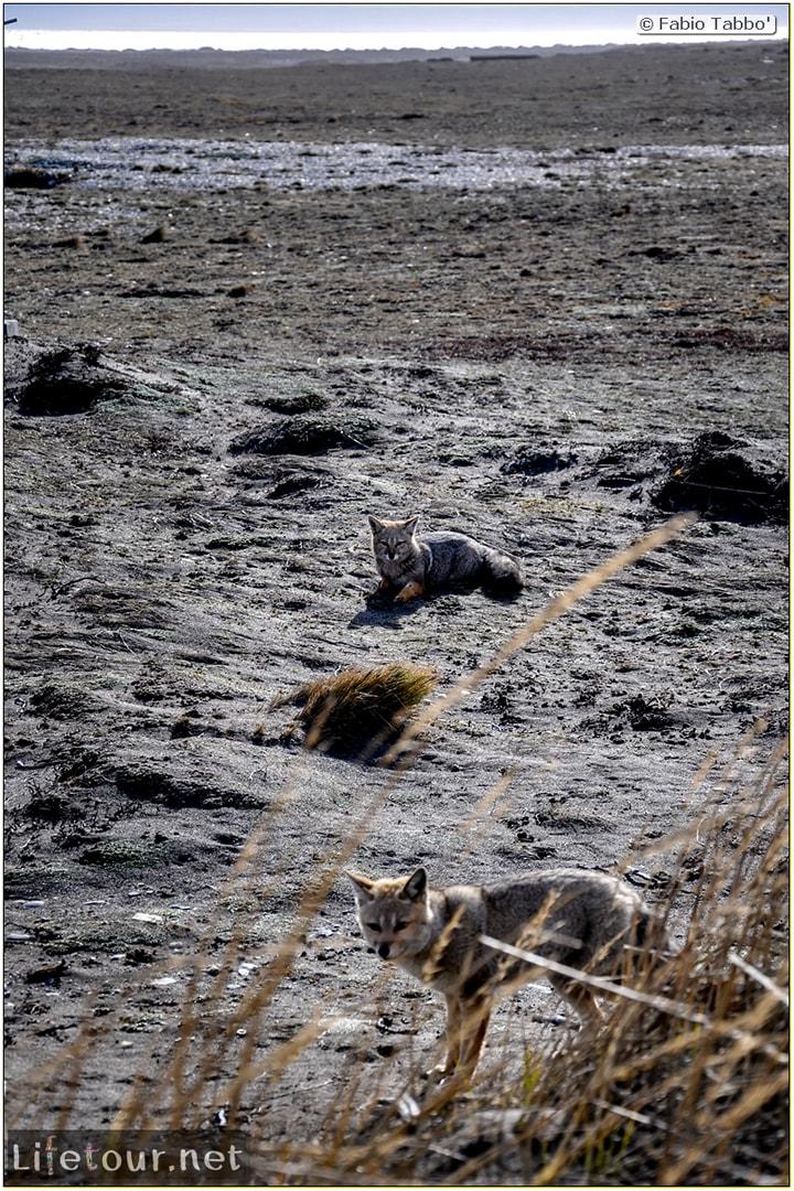 Fabio_s-LifeTour---Chile-(2015-September)---Porvenir---Tierra-del-Fuego---Parque-Penguinos-Rey---2--Foxes---9141