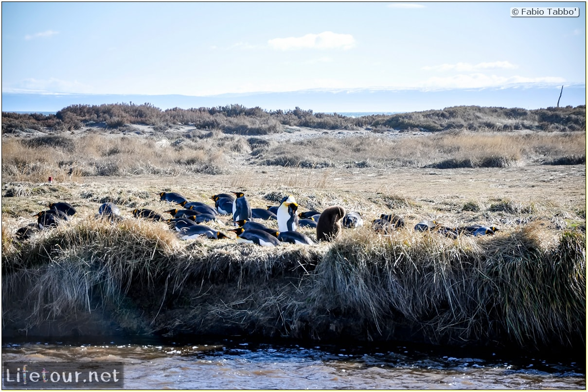Fabio_s-LifeTour---Chile-(2015-September)---Porvenir---Tierra-del-Fuego---Parque-Penguinos-Rey---3--Emperor-pinguins---10027
