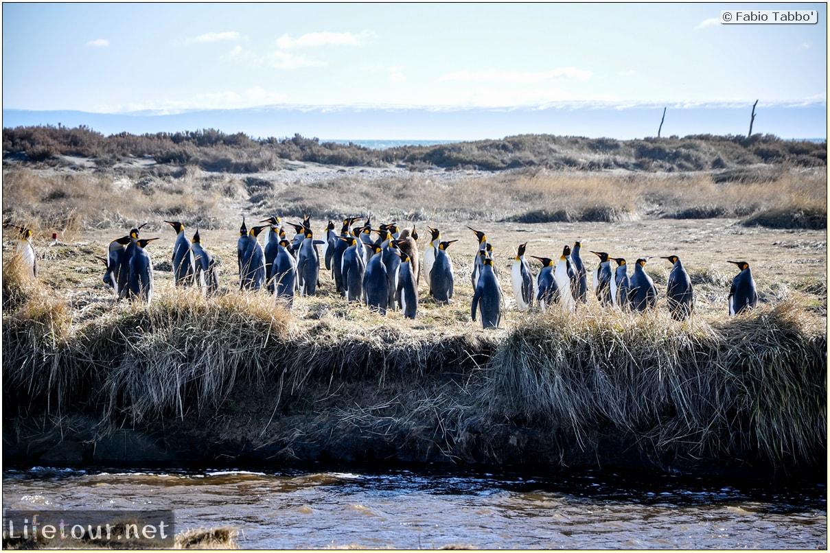 Fabio_s-LifeTour---Chile-(2015-September)---Porvenir---Tierra-del-Fuego---Parque-Penguinos-Rey---3--Emperor-pinguins---10121
