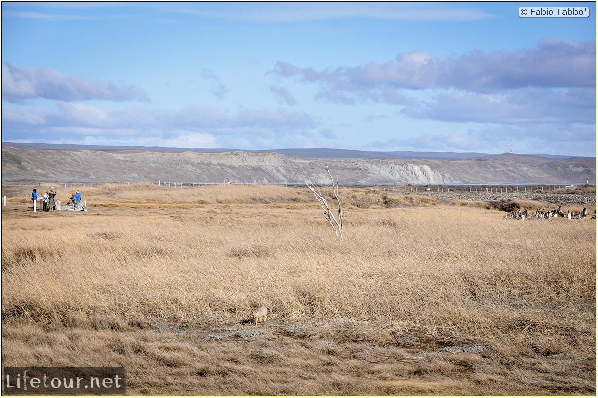 Fabio_s-LifeTour---Chile-(2015-September)---Porvenir---Tierra-del-Fuego---Parque-Penguinos-Rey---3--Emperor-pinguins---10544