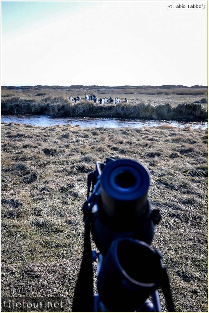 Fabio_s-LifeTour---Chile-(2015-September)---Porvenir---Tierra-del-Fuego---Parque-Penguinos-Rey---3--Emperor-pinguins---11195