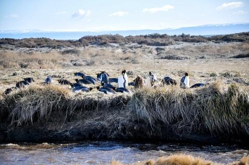 Fabio_s-LifeTour---Chile-(2015-September)---Porvenir---Tierra-del-Fuego---Parque-Penguinos-Rey---3--Emperor-pinguins---9815 cover