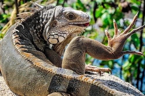 Fabio_s-LifeTour---Colombia-(2015-January-February)---Santa-Marta---Tayrona-park---Feeding-iguanas---6956 COVER