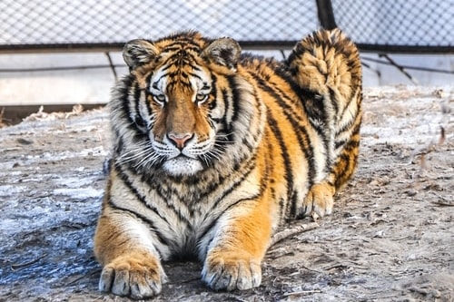 Fabio's LifeTour - China (1993-1997 and 2014) - Harbin (2014) - Siberian Tiger Park - 5652 COVER