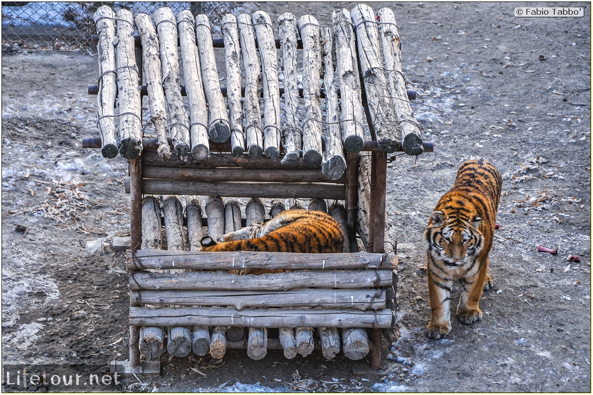 Fabio's LifeTour - China (1993-1997 and 2014) - Harbin (2014) - Siberian Tiger Park - 6729