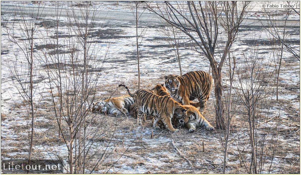 Fabio's LifeTour - China (1993-1997 and 2014) - Harbin (2014) - Siberian Tiger Park - 7397