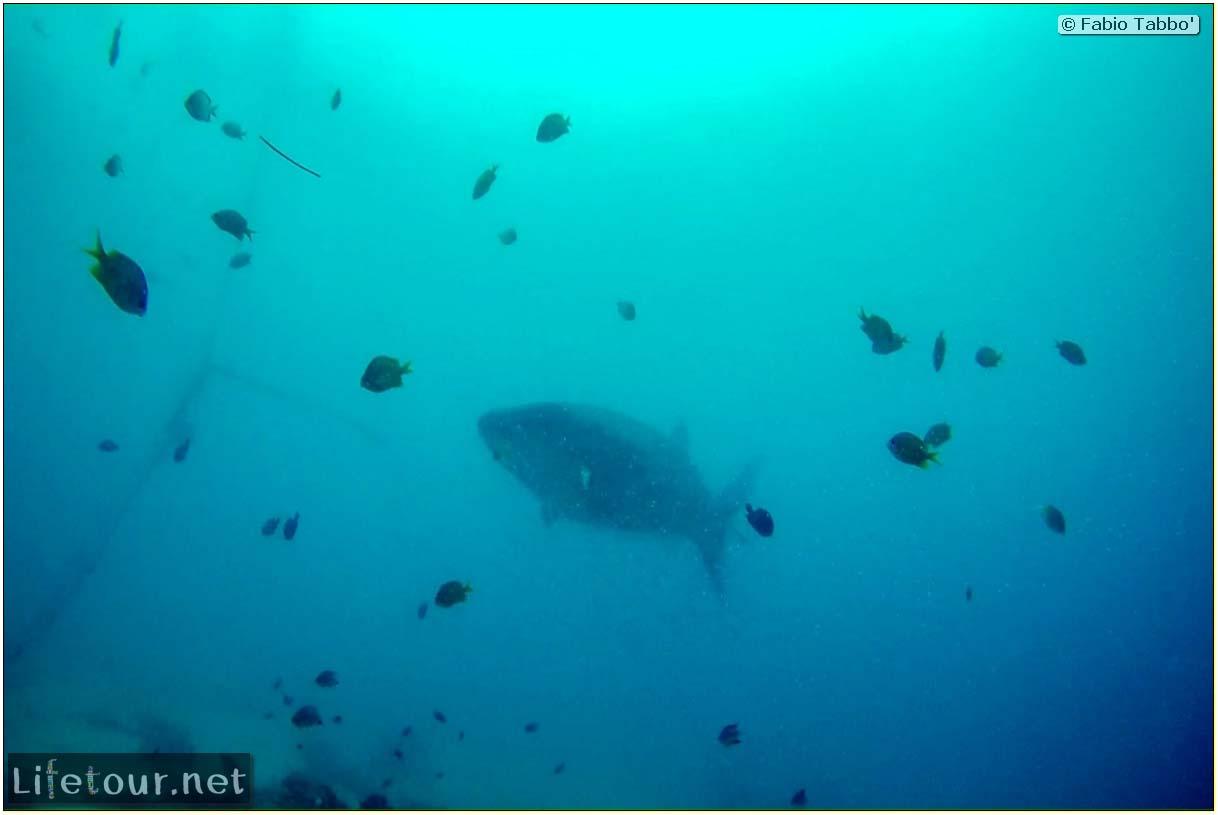 Cebu-Island-Oslob-Scuba-Diving-with-whale-sharks-Scuba-diving-with-whale-sharks-74