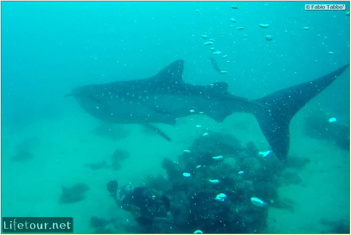 Cebu-Island-Oslob-Scuba-Diving-with-whale-sharks-Scuba-diving-with-whale-sharks-77