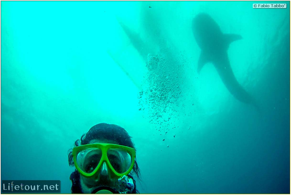 Cebu-Island-Oslob-Scuba-Diving-with-whale-sharks-Scuba-diving-with-whale-sharks-99