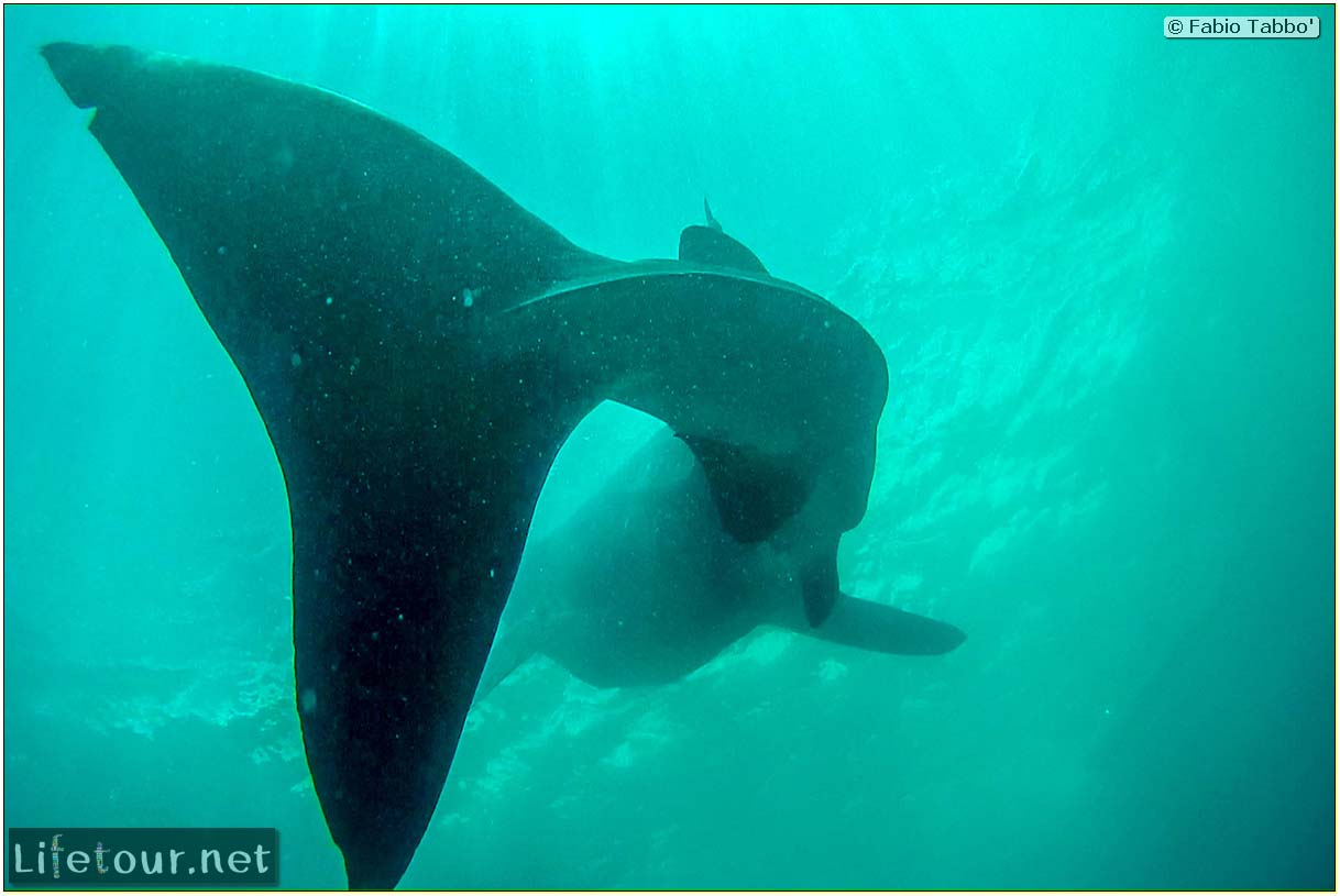 Oslob-Scuba-Diving-with-whale-sharks-Scuba-diving-with-whale-sharks-27