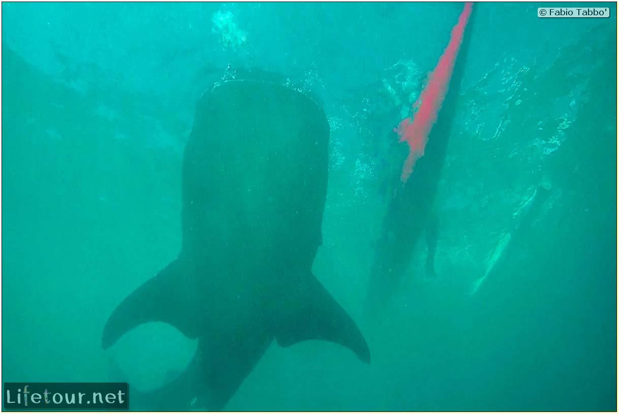 Oslob-Scuba-Diving-with-whale-sharks-Scuba-diving-with-whale-sharks-54