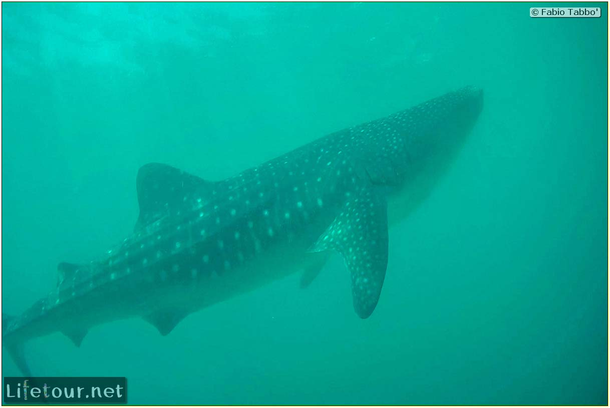 Oslob-Scuba-Diving-with-whale-sharks-Scuba-diving-with-whale-sharks-55