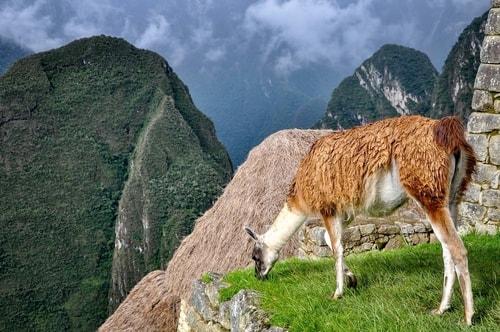 Peru-Machu-Picchu-The-Lamas-of-Machu-Picchu-12418 COVER
