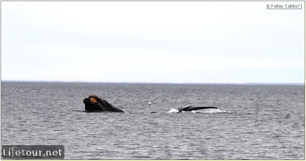 Fabios-LifeTour-Argentina-2015-July-August-Puerto-Madryn-El-Doradillo-whale-watching-2.-El-Doradillo-whale-watching-3470