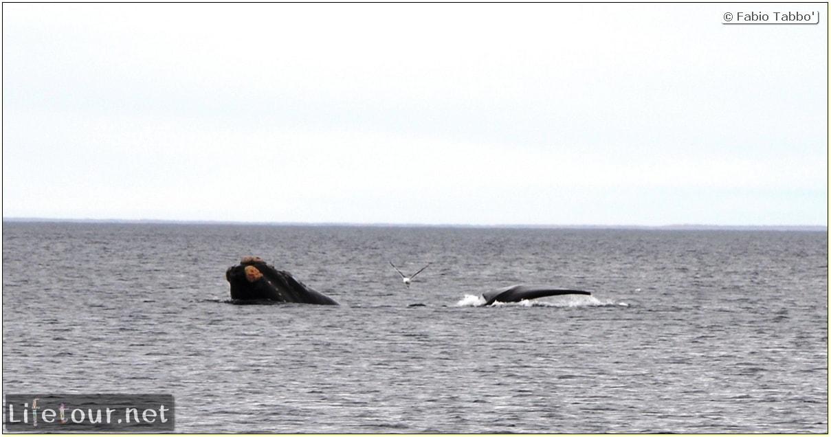 Fabios-LifeTour-Argentina-2015-July-August-Puerto-Madryn-El-Doradillo-whale-watching-2.-El-Doradillo-whale-watching-3470