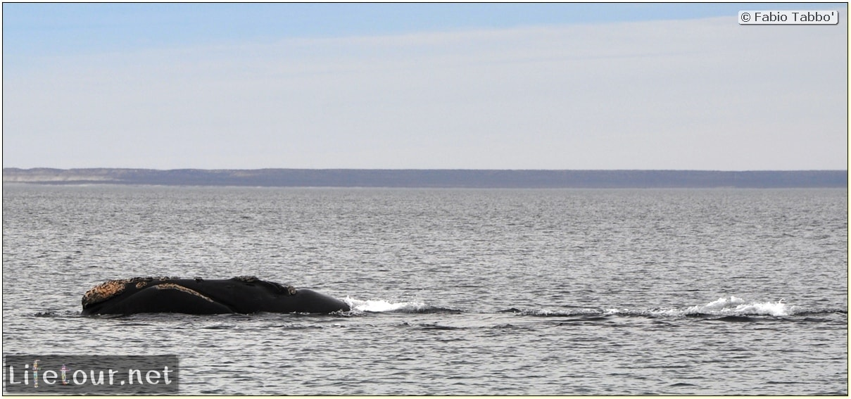Fabios-LifeTour-Argentina-2015-July-August-Puerto-Madryn-El-Doradillo-whale-watching-2.-El-Doradillo-whale-watching-4338