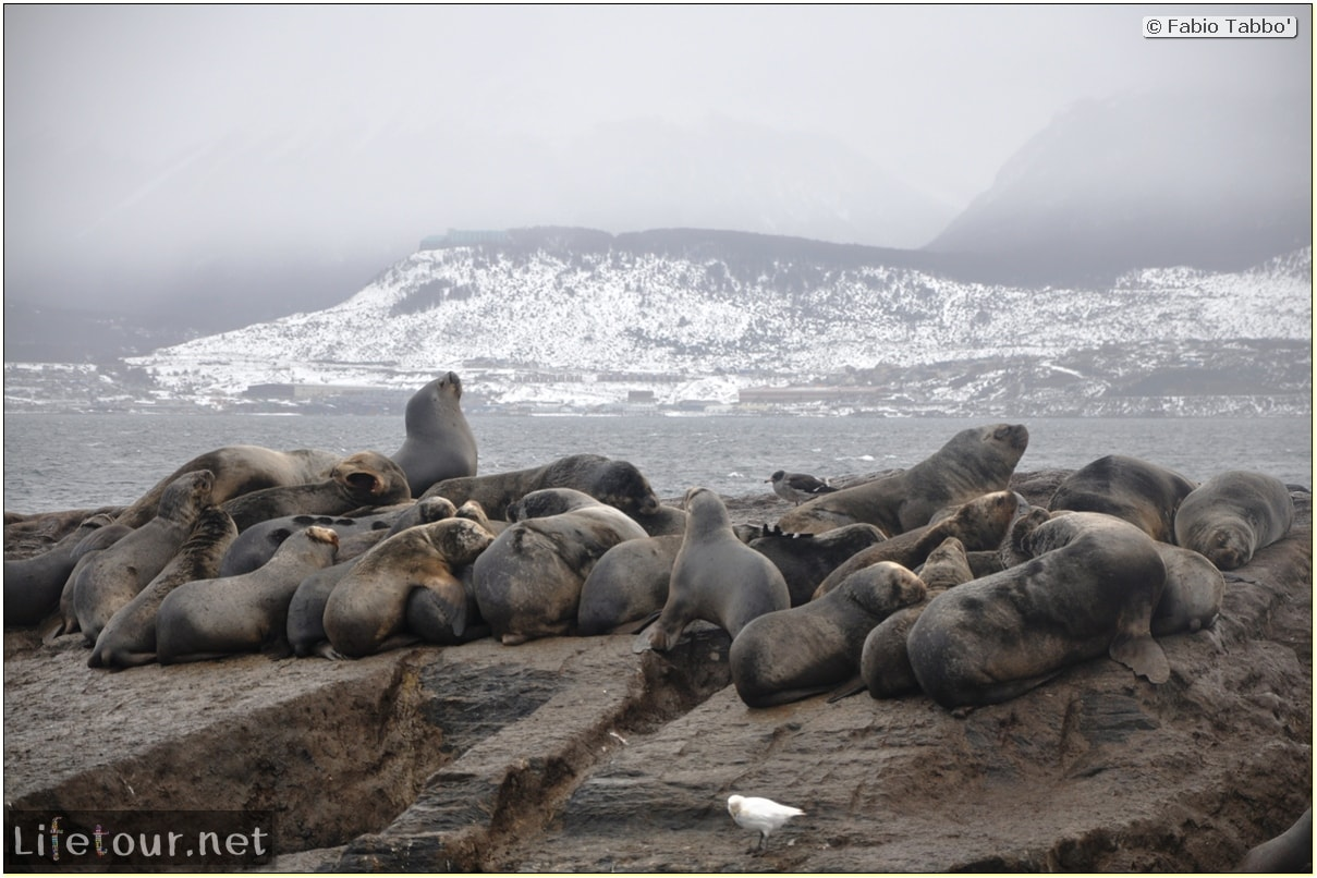 Fabios-LifeTour-Argentina-2015-July-August-Ushuaia-Beagle-Channel-2-Sea-lions-7535
