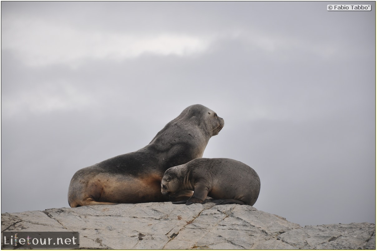 Fabios-LifeTour-Argentina-2015-July-August-Ushuaia-Beagle-Channel-2-Sea-lions-8703
