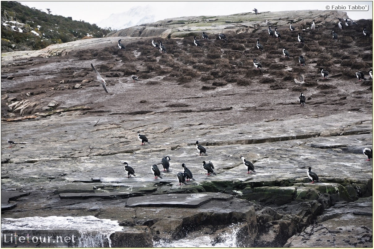 Fabios-LifeTour-Argentina-2015-July-August-Ushuaia-Beagle-Channel-3-Cormorants-8479
