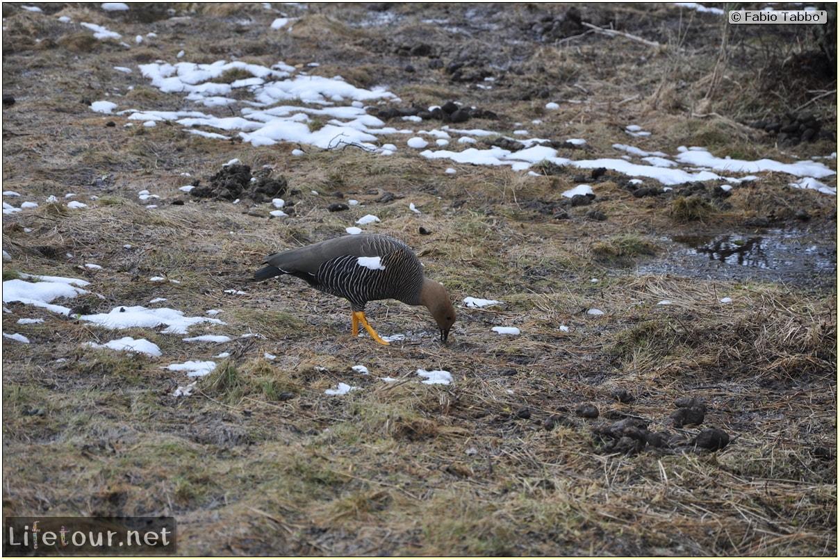 Fabios-LifeTour-Argentina-2015-July-August-Ushuaia-Parque-Tierra-del-Fuego-3-Birdwatching-4101