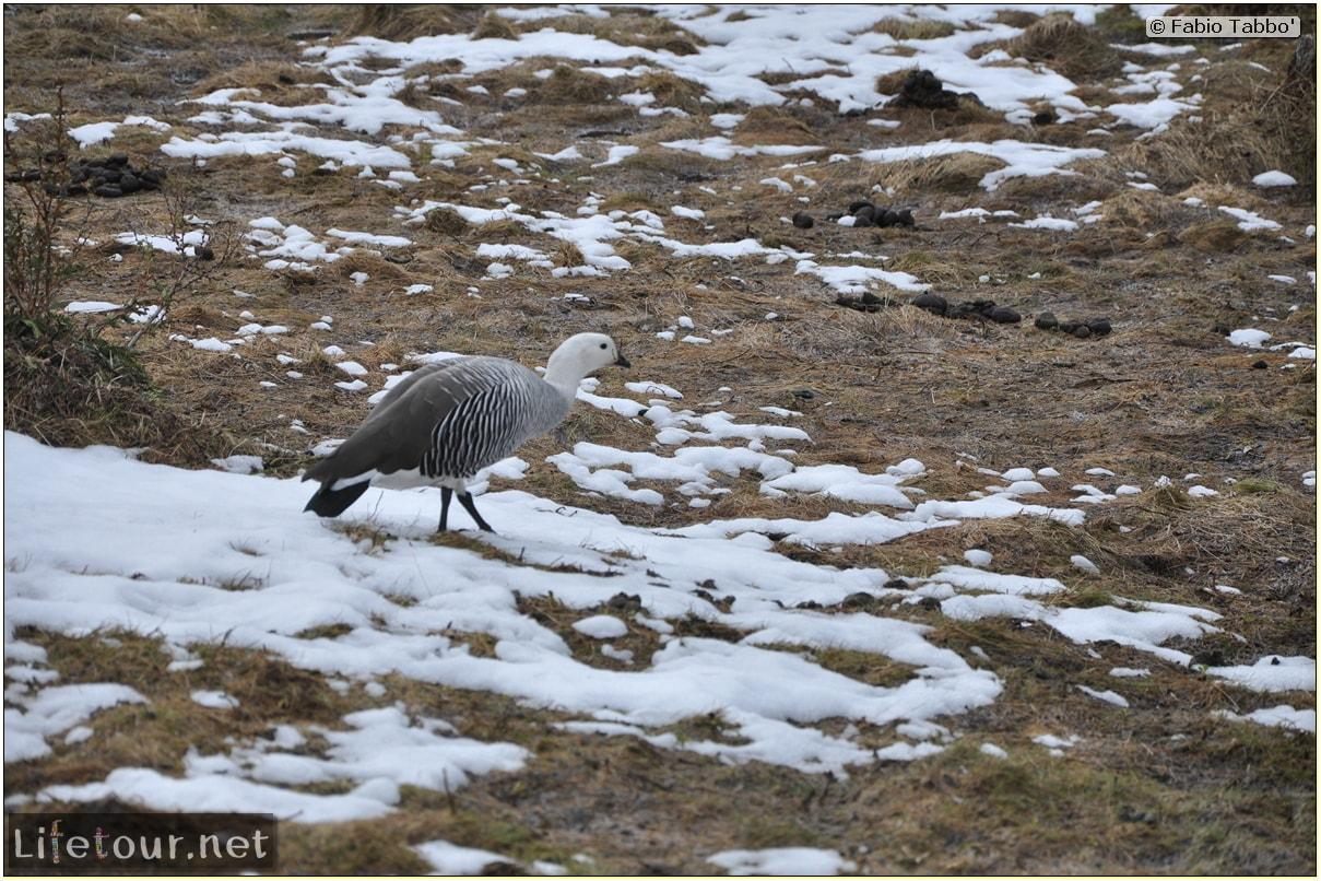 Fabios-LifeTour-Argentina-2015-July-August-Ushuaia-Parque-Tierra-del-Fuego-3-Birdwatching-4151