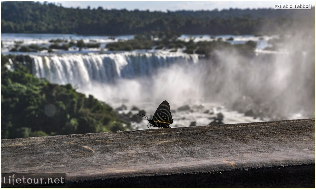 Fabio's LifeTour - Brazil (2015 April-June and October) - Iguazu falls - The butterflies - 7711