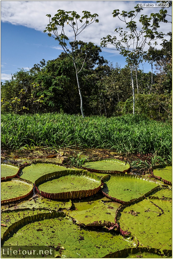 Fabio's LifeTour - Brazil (2015 April-June and October) - Manaus - Amazon Jungle - Parque do Janauary - 3- Water lilies - 11037